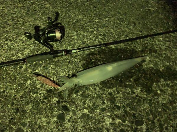 エギングでヤリイカを沼津で釣った画像